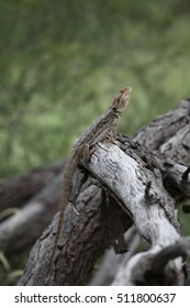 A Central Bearded Dragon lizard sitting on a log.