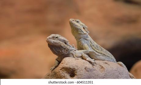 Central Bearded Dragon Pogona vitticep. Pair of lizards sitting on a dry rock in a desert environment
