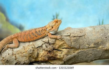 Central bearded dragon (Pogona vitticeps)