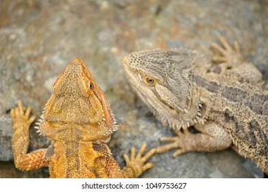Central bearded dragon from top. Two lizard animals.