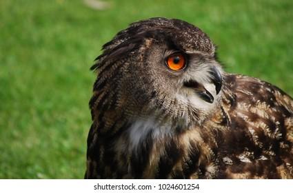 Central European owl