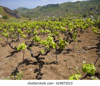 Central Gran Canaria in April,new leaves on old vines, vineyards around San Mateo with old vine plants
