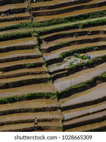 Central Java, Indonesia - February 17th 2018 : Three people are farming in the rice field and a man walking away