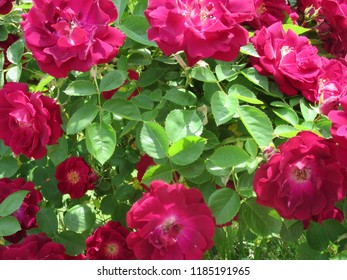 Central NJ/USA - June, 3, 2018: A circle of blossoming small red roses surrounded by bright green leaves.