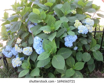 Central NJ/USA - May 1, 2019: Multiple flowers on a blue hydrangea bush.