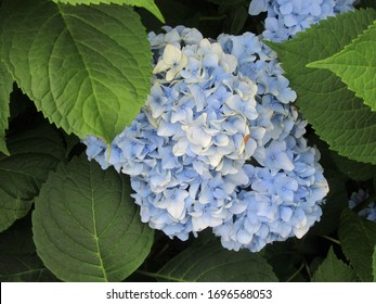 Central NJ/USA - May 1, 2019: A single blue hydrangea flower in full bloom, surrounded by lush green leaves.