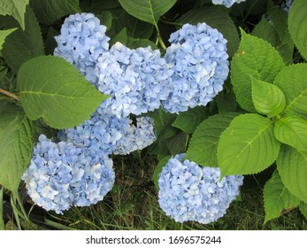 Central NJ/USA - May 1, 2019: Big clusters of blooming blue hydrangea flowers, surrounded by lush green leaves.