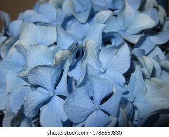 Central NJ/USA - May 1, 2020: Extreme close-up of a large blue hydrangea flower in full bloom.