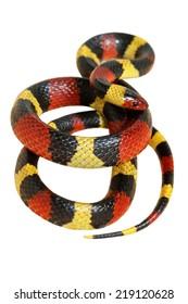 Central Plains Milk Snake on white back ground