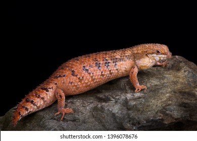 Central Pygmy Spiny-tailed Skink (Egernia eos)