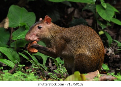 A Central-American Agouti (Dasyprocta punctata) feeding on a large seed - photographed on Barro Colorado Island, Panama