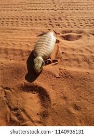 Centralian Blue Tounge Lizard Crossing sandy outback road in the Kimberley region in north Australia