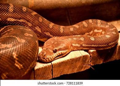 Centralian Carpet Python, Morelia Bredli, found in desert rock outcrops in Australia