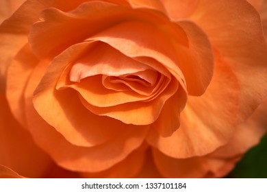 The centre of a splendid orange Begonia creates a sensuous almost abstract allusion.