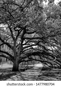 Century Oak tree on the Campus of Texas A&M University