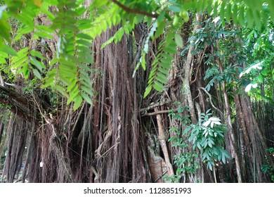 Century old mysterious balete tree on Siquijor Island, Philippines