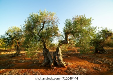 Century olives at sunset - Italy