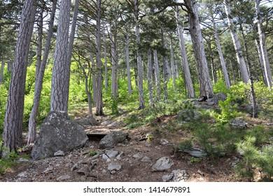 Century pines forest near mount Ai-Petri, Yalta region, Crimea, Russia