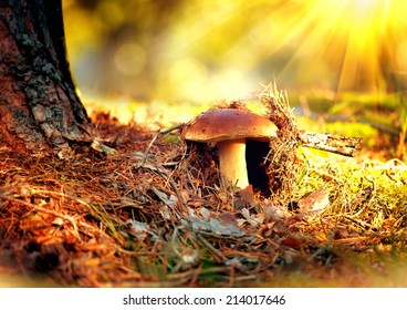 Cep Mushroom Growing in Autumn Forest. Boletus growing under the tree. Mushroom picking