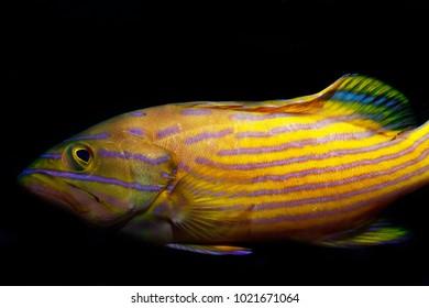 Cephalopholis polleni grouper