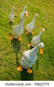 Ceramic ducks on the Grass