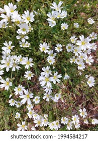 Cerastium fontanum, also calledmouse-ear chickweed,common mouse-ear, orstarweed