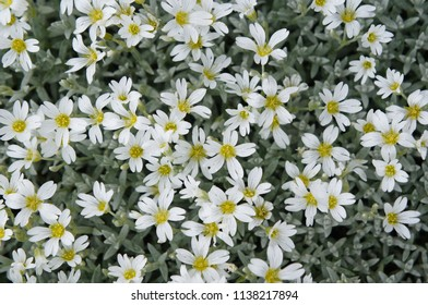 Cerastium tomentosum or snow-in-summer green plant with many white flowers