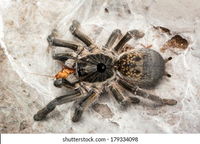 Ceratogyrus marshalli female tarantula with big abdomen eating roaches Shelfordella tartara. Ceratogyrus is a genus of southern African theraphosid spiders, commonly called horned baboons.