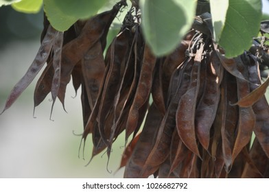 Ceratonia siliqua, commonly known as the carob tree or carob bush. Perfect for Background.