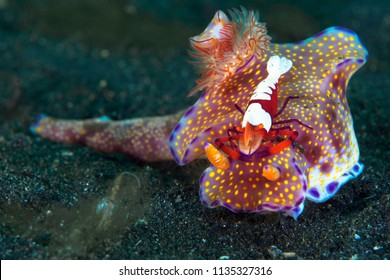 Ceratosoma nudibranch with emperor shrimp riding on its back