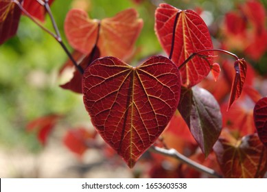 Cercis canadensis Forest Pansy, a Redbud tree with crimson heart shaped leaves in spring