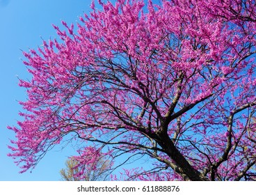 Cercis canadensis(Eastern redbud) is a large deciduous shrub or small tree, native to eastern North America from southern Ontario,Canada south to northern Florida. Blossoming tree against the blue sky