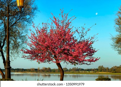Cercis siliquastrum, commonly called Tree of love, Ciclamor, mad carob tree or Judas tree, in a pedestrian area with the marshes of the national park in the village of El Rocío, Andalusia, Spain