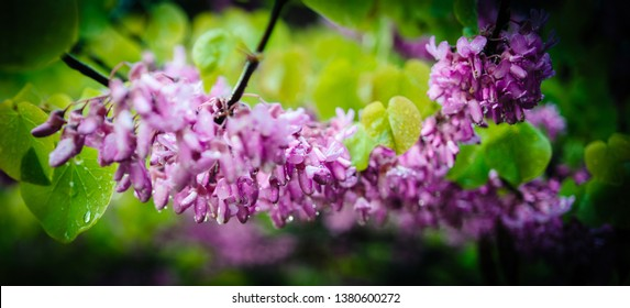 Cercis siliquastrum commonly known as the Judas tree or Judas-tree branch in bloom it is a small deciduous tree from Southern Europe and Western Asia which with deep pink flowers in spring