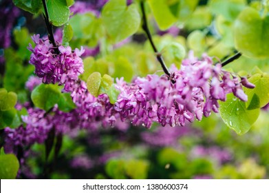 Cercis siliquastrum commonly known as the Judas tree or Judas-tree branch in bloom covered with rain water drops