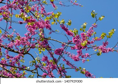 Cercis siliquastrum, commonly known as the Judas tree or Mediterranean Red bud tree, is a small deciduous tree. Delicate pink flowers.