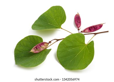 Cercis siliquastrum( Judas tree ) branch with leaves and fruits isolated on white