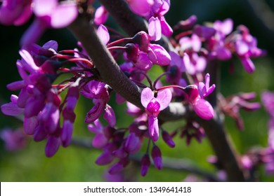 Cercis siliquastrum, Judas tree or Judas-tree, blooming with beautiful deep pink colored flowers. Eastern redbud tree blossoms in spring time,  flowering detail in full bloom, green background.