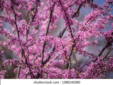 Cercis siliquastrum or Judas tree, ornamental tree blooming with beautiful deep pink colored flowers in the spring. Eastern redbud tree blossoms in spring time. Soft focus, blurred background.