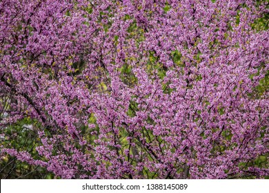 Cercis siliquastrum or Judas tree, ornamental tree blooming with beautiful deep pink colored flowers in the spring. Eastern redbud tree blossoms in spring time. Pink spring nature flower background.