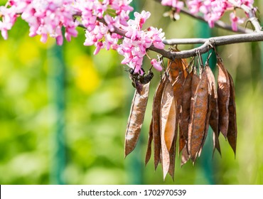 Cercis siliquastrum or Judas tree, ornamental tree blooming with beautiful deep pink colored flowers in the spring. Eastern redbud tree blossom. Old seed pods and black bumblebee on flowers.
