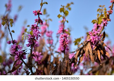Cercis siliquastrum or Judas-tree in wind, deciduous tree from Southern Europe and Western Asia which is noted for its prolific display of deep pink flowers blossom in spring, Serbia, Croatia, France