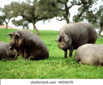 cerdos de jamon iberico en dehesa