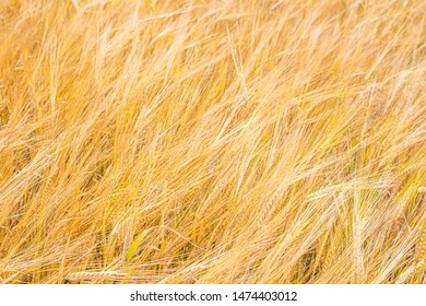 Cereal agitated by the wind. Background with triticale ears. Abstract background turning into soft focus.