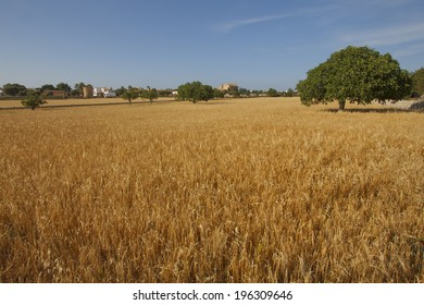 Cereal crops field under blue sunny sky