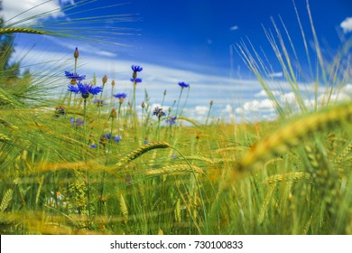 Cereal field with barley and cornflowers. The end of the summer. Agricultural land in Latvia.