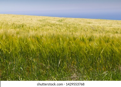 Cereal field crop next to the sea with sunshine and blue sky