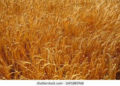 Cereal Field in denmark djursland