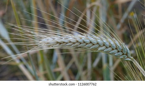 Cereal field,  Winter triticale ,Barolo, Poaceae family. Location: Hanover County, Germany