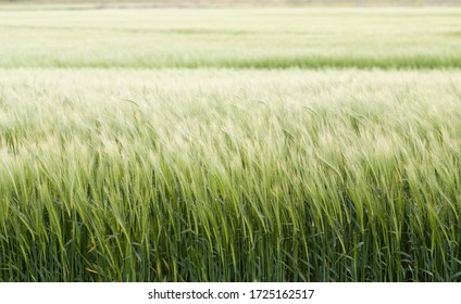 cereal fields with selective blur